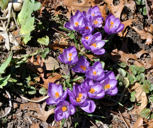 first crocus 2015