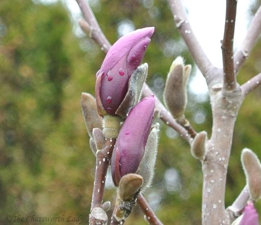 magnolia buds in mid April