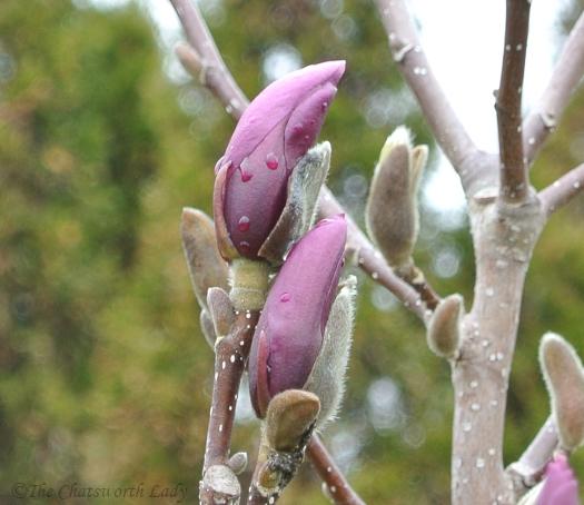magnolia buds in mid April