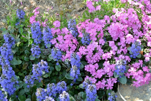 ajuga and creeping phlox
