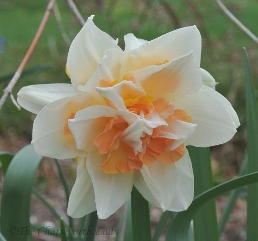 double daffodil v1