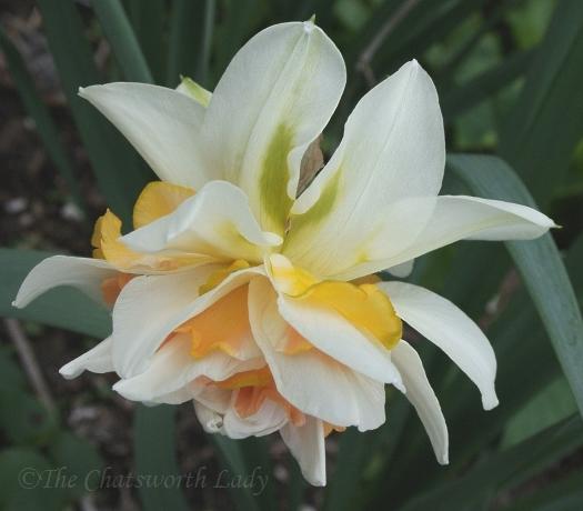 double daffodil v2