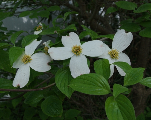 first dogwood flowers