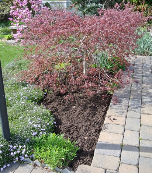 mulched maple