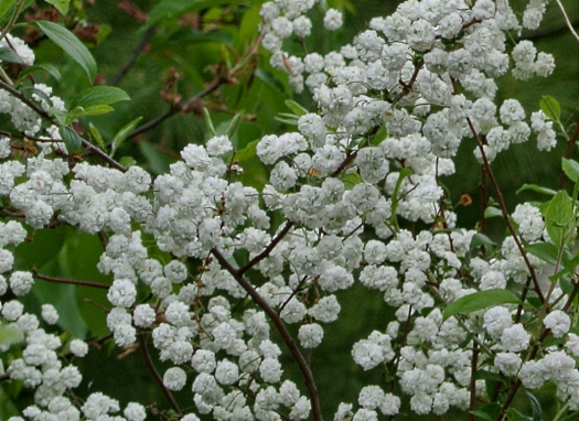 neighbors spiraea