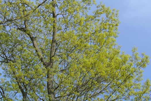 oak in early May