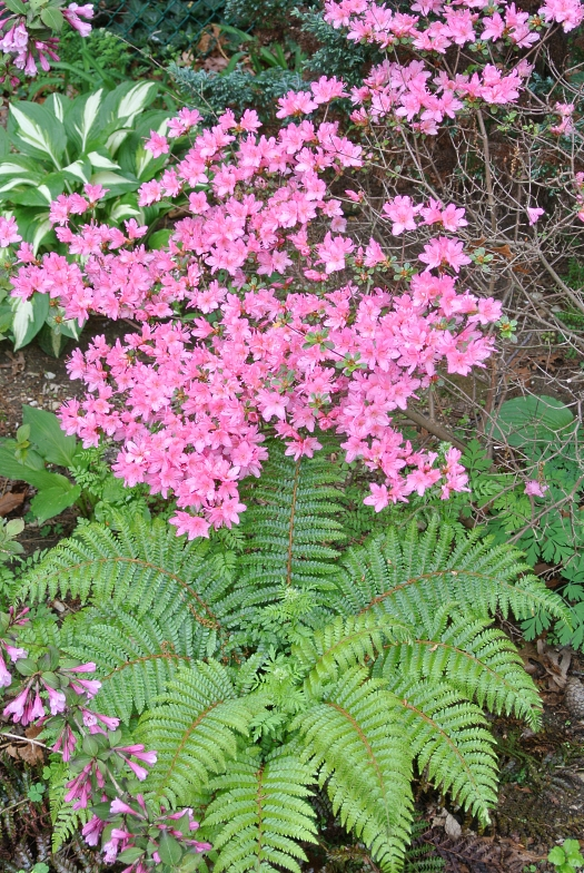 01 pink azalea and fern