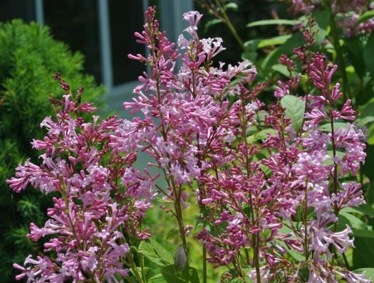 08 lilac detail
