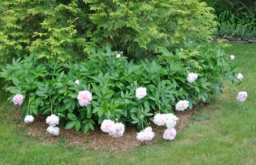 16 droopy peonies