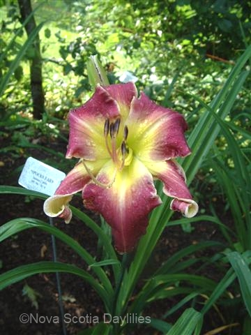 daylily SPOCKS EARS