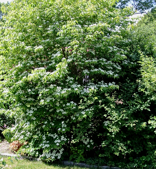 Cornus kousa June 5th