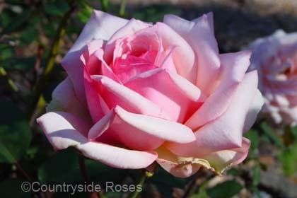 Rose Tipsy Imperial Concubine