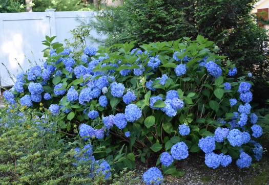 blue hydrangea in July