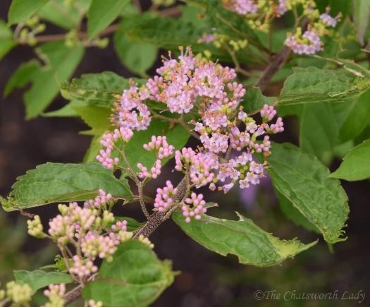 Callicarpa bodinieri Profusion flowers