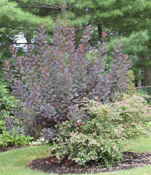 cotinus in July