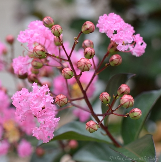 crape myrtle buds and flowers