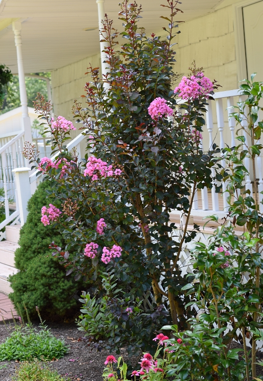 crape myrtle in mid July