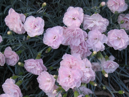 Dianthus Inchmery