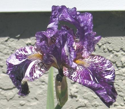 Iris Unstable Gene