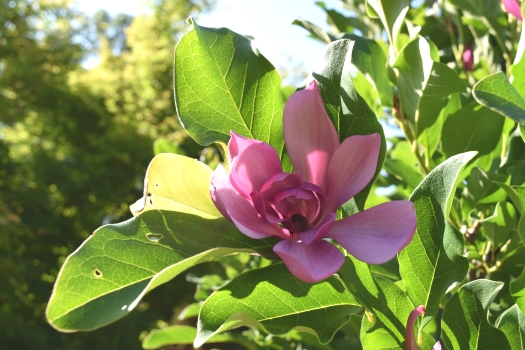 magnolia in July