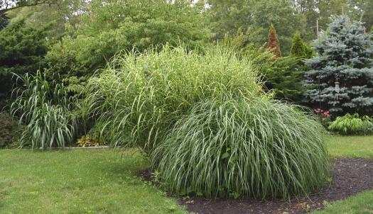 monster grasses