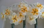 Narcissus Lemon Beauty