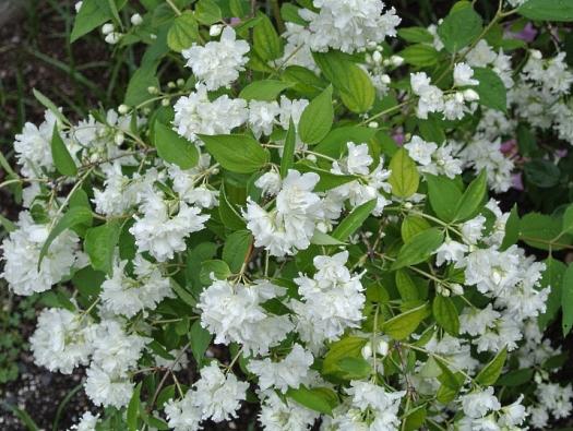 Philadelphus Bouquet Blanc