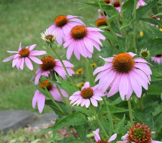 pink Echinacea flower stages