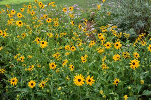 rudbeckia colony