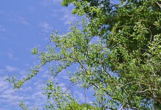 corkscrew willow detail