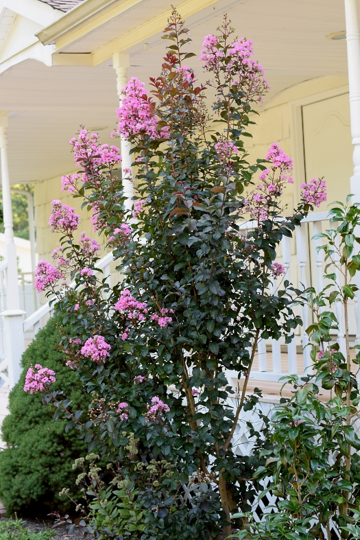 pink crape myrtle in August