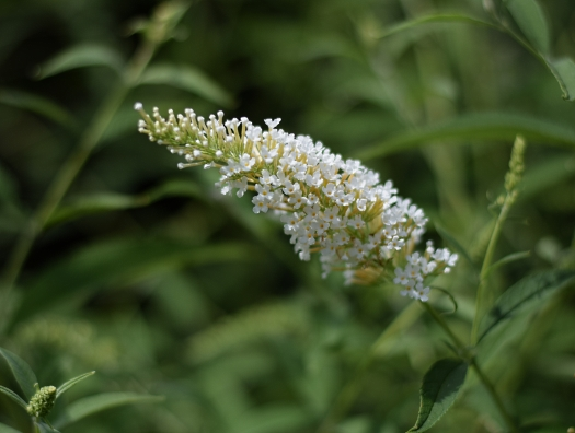 white buddleia