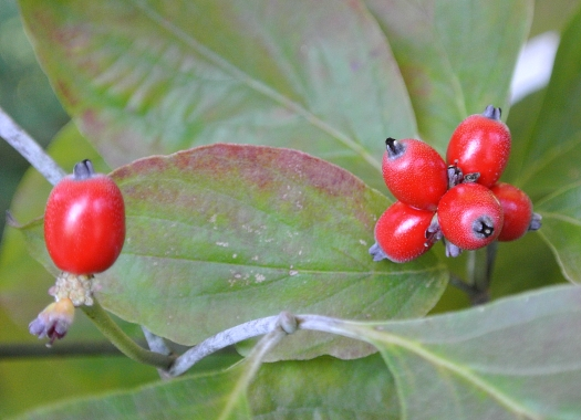 Cornus florida berries