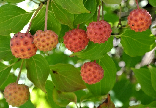Cornus kousa fruit