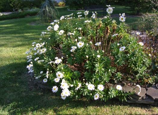 06 shasta daisies