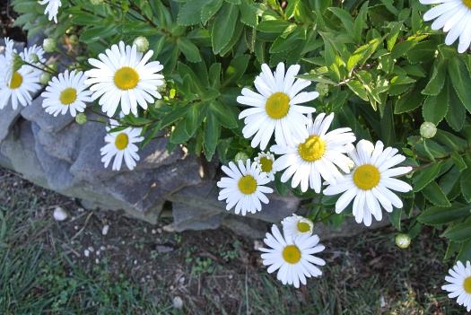07 shasta daisies