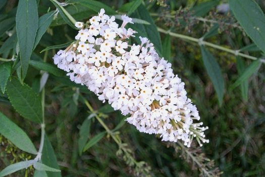 08 white buddleia