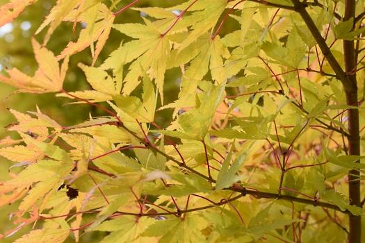 10 Sango Kaku foliage