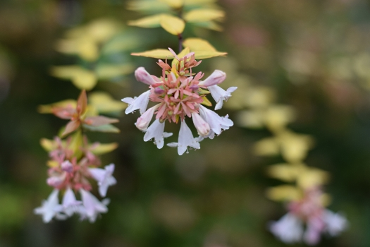 13 unknown abelia