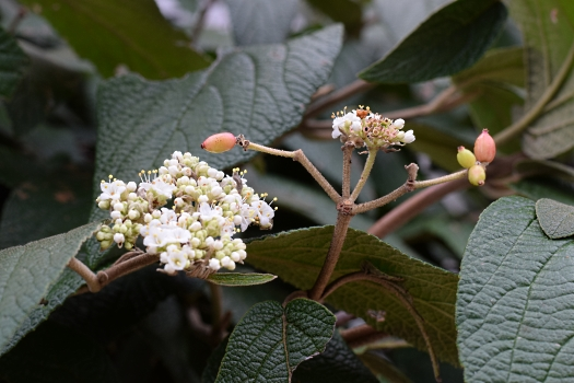 16 Killer Viburnum autumn flowers and berries