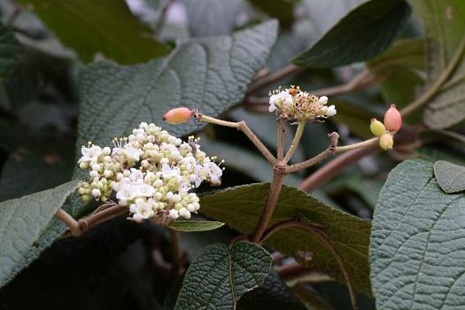 16 Killer Viburnum autumn flowers and berries