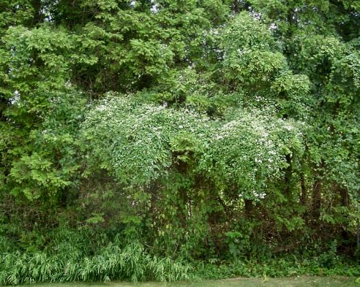 Clematis terniflora 2009