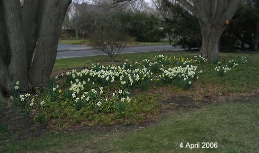 daffodils under linden trees 2006