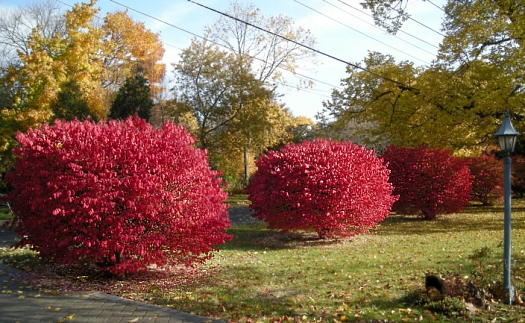 front euonymus 2007