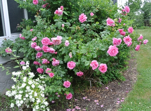 Rose Earth Song and philadelphus 2014