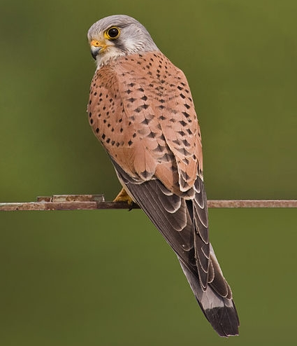 the European kestrel
