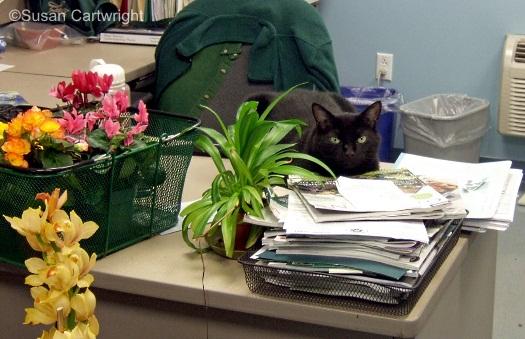 Longwood cat Boca
