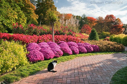 longwood-cat-iggy-on-the-flower-walk