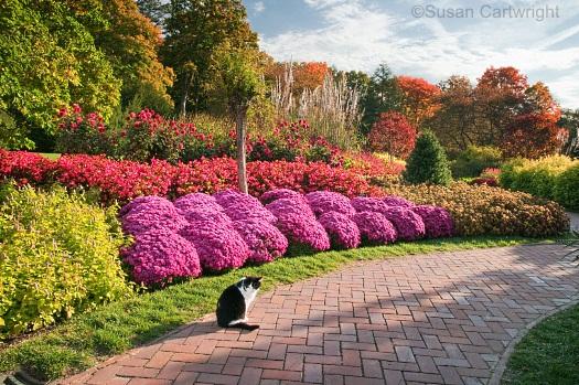 longwood-cat-iggy-on-the-flower-walk