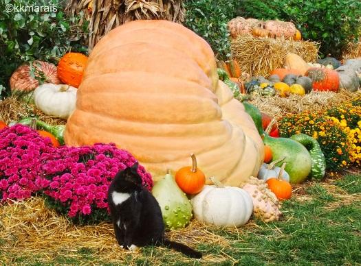 longwood-cat-jojo-in-autumn-display